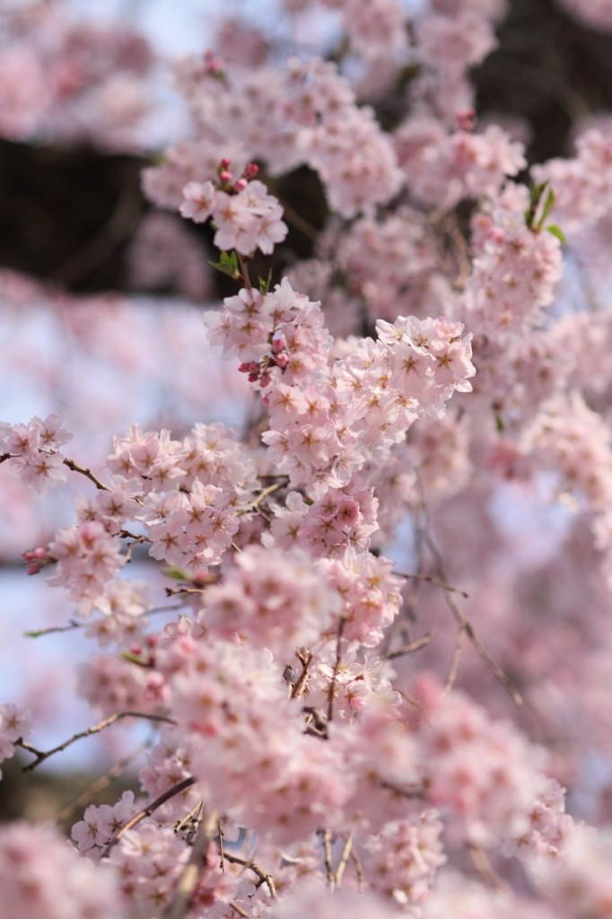 極楽寺 桜